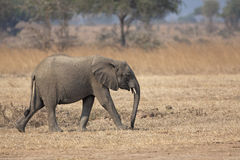 Wild Elephant Royalty Free Stock Images