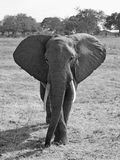 Wild Elephant. In the Savannah in Mikumi, Tanzania Stock Photos