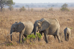 Wild Elephant. In the Savannah in Mikumi, Tanzania Royalty Free Stock Photography