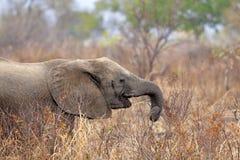 Wild Elephant. In the Savannah in Mikumi, Tanzania Stock Photo