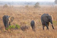 Wild Elephant. In the Savannah in Mikumi, Tanzania Royalty Free Stock Photo