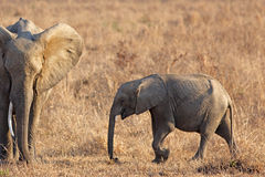 Wild Elephant Royalty Free Stock Photo