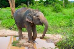 Wild elephant Stock Photos
