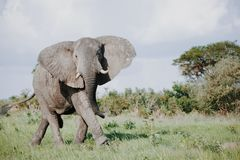 Wild Elephant in Africa stock images
