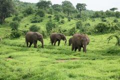 Wild Elephant in African Botswana savannah. Wild Elephant Elephantidae in African Botswana savannah Royalty Free Stock Image
