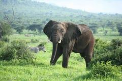 Wild Elephant in African Botswana savannah. Wild Elephant Elephantidae in African Botswana savannah Stock Photo
