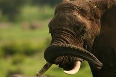 Wild Elephant in African Botswana savannah. Wild Elephant Elephantidae in African Botswana savannah Stock Photography