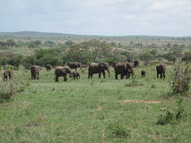 Wild Elephant in African Botswana savannah. Wild Elephant Elephantidae in African Botswana savannah Stock Image