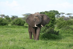 Wild Elephant in African Botswana savannah. Wild Elephant Elephantidae in African Botswana savannah Royalty Free Stock Images