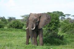 Wild Elephant in African Botswana savannah. Wild Elephant Elephantidae in African Botswana savannah Royalty Free Stock Photo