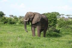Wild Elephant in African Botswana savannah. Wild Elephant Elephantidae in African Botswana savannah Royalty Free Stock Photos