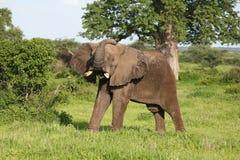 Wild Elephant in African Botswana savannah. Wild Elephant Elephantidae in African Botswana savannah Stock Photos