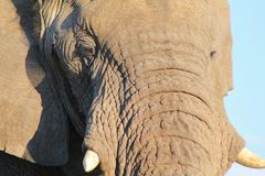 Wild Elephant, African - The great Thirst 2 Royalty Free Stock Photo