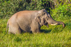 Wild elephant (Asian elephant). Is eating on the field in nature at Khaoyai national park,Thailand Stock Image