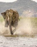 Wild elephant attack. Wild elephant on attack splashing water with trunk at srilanka Royalty Free Stock Photo