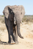 A wild elephant attacking a safari. In South Africa Royalty Free Stock Photo