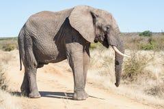A wild elephant attacking a safari. In South Africa Stock Photos