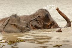 Wild elephant bathing Royalty Free Stock Image