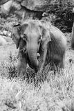 Wild elephant black n white royalty free stock photo