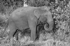 Wild elephant in black and white stock image