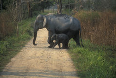Wild Elephant and Calf