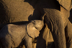 Wild elephant calf being nursed Stock Photography