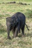 A wild elephant calf. royalty free stock photo