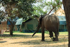 Wild elephant on the campsite Royalty Free Stock Photos