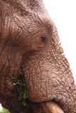 Wild elephant close-up Royalty Free Stock Images