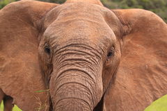 Wild elephant close-up Royalty Free Stock Photos
