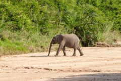 Wild elephant come to drink in Africa in national Kruger Park in UAR Royalty Free Stock Photo