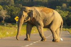 Wild elephant cross road. Huge wild elephant cross road at maduruoya park srilanka royalty free stock photography
