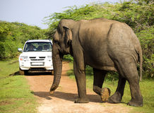 Wild elephant is crosses the way Royalty Free Stock Images