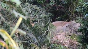 Wild Elephant stock video