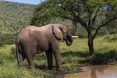 Wild Elephant Drinking Water in Natural Wilderness Royalty Free Stock Photography