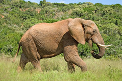 Wild elephant eating grass Royalty Free Stock Images