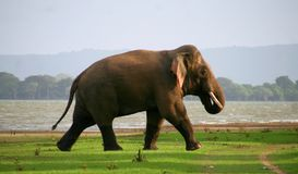 Wild elephant at evening stock images