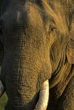 Wild Elephant. Face close-up at Jim Corbett National Park, India Stock Images
