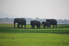 Wild elephant with family Royalty Free Stock Image