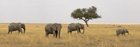 Wild elephant family Royalty Free Stock Photos