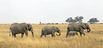 Wild elephant family Royalty Free Stock Photo