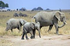 Wild elephant family Stock Photography
