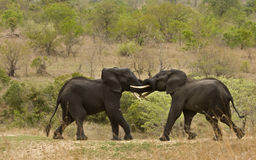 Wild elephant fighting and playing, african savannah, Kruger, South Africa Stock Images