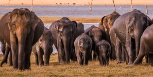 Wild elephant gang. Family of wild elephants with kids walking on kaudulla safari park , srilanka Royalty Free Stock Photo