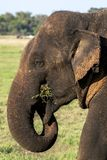 A wild elephant grazing in Sri Lanka. A wild elephant grazing on green grass in Minneriya National Park in the late afternoon royalty free stock photography