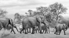 Wild elephant family herd crossing road stock photography