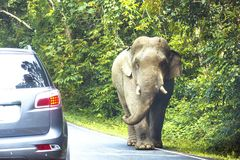 Wild elephant at Khao Yai National Park. Wild elephant walk along on the road edge near tourist`s car at Khao Yai National Park, Nakhon Nayok, Thailand stock image