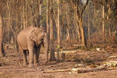 Wild elephant in Laos Royalty Free Stock Images