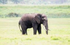 Wild Elephant  in a Lush Tanzania Landscape Stock Photos