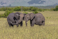 Wild elephant in Maasai Mara National Reserve, Kenya. Royalty Free Stock Photo